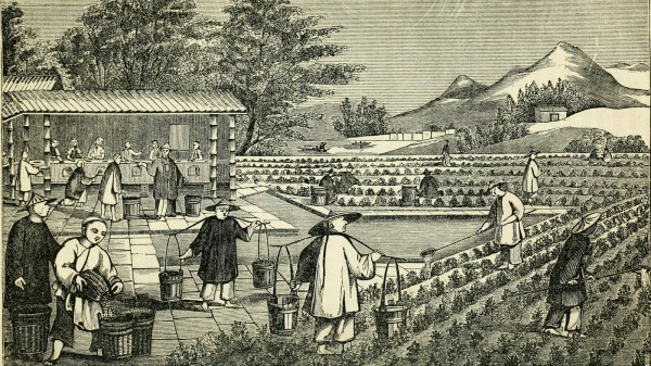 An illustration from a book published in 1851 depicts the cultivation of tea in China. In the mid-19th century, China controlled the world's tea production. That soon changed, thanks to a botanistwith a penchant for espionage