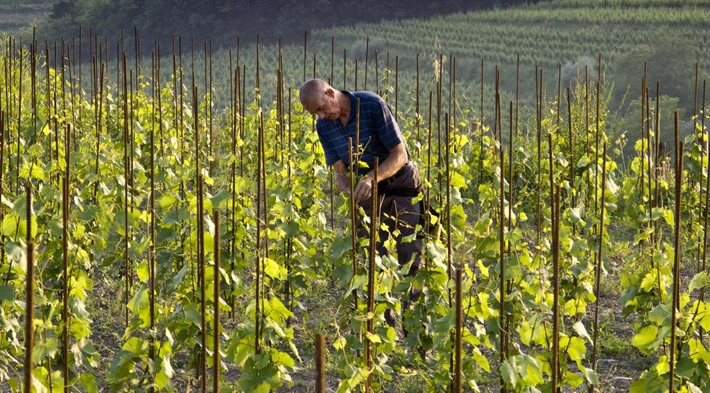 Gravner vineyard